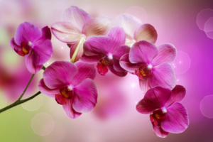 ag - orchid